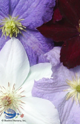CLEMATIS Large Flowered Mix