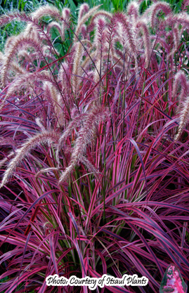 Products bluebird nursery inc for Variegated grass with purple flower