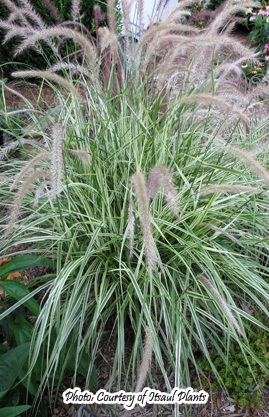 Products bluebird nursery inc for Fountain grass varieties